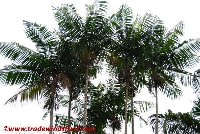 1,000          wine palm seeds