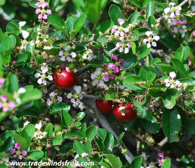 cherry tree seeds