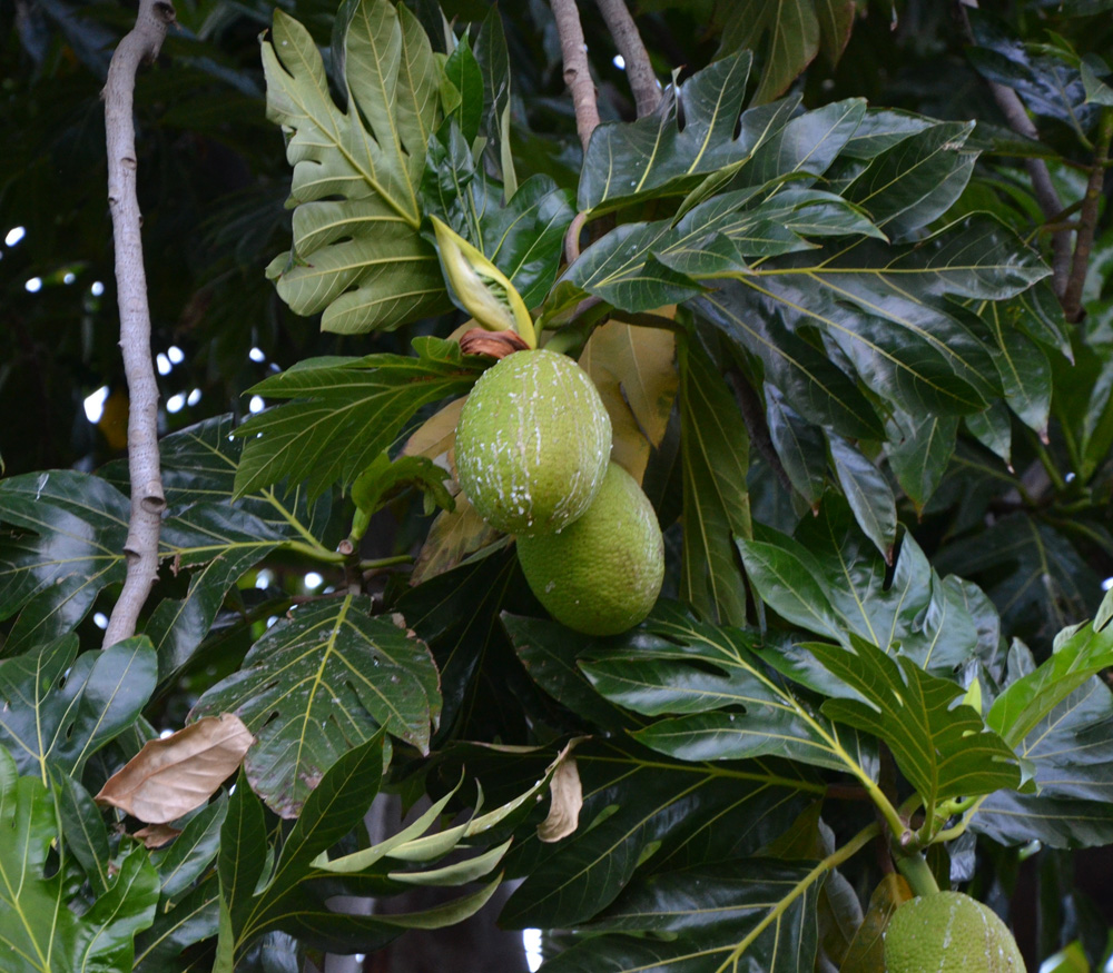 Pictures Of Breadfruit Seeds
