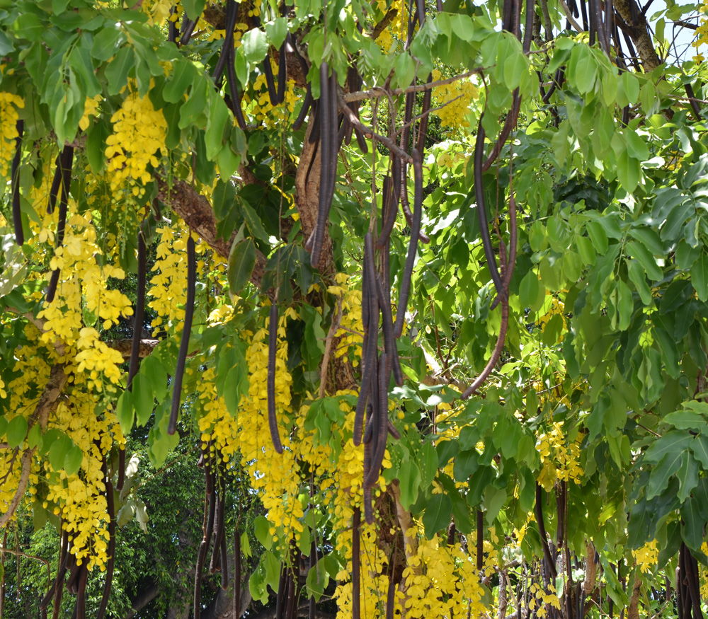 Trees Planet: Cassia fistula - Golden Shower Tree