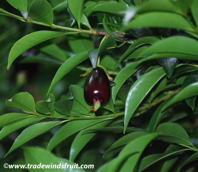 Cabeluda Yellow Jaboticaba Eugenia Tomentosa