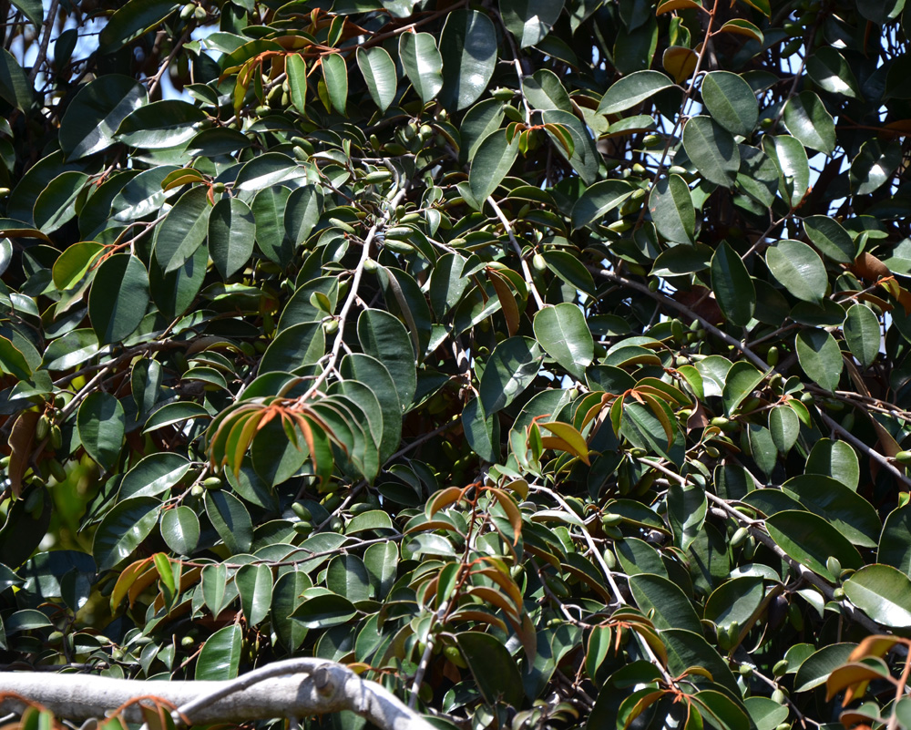 satin leaf tree