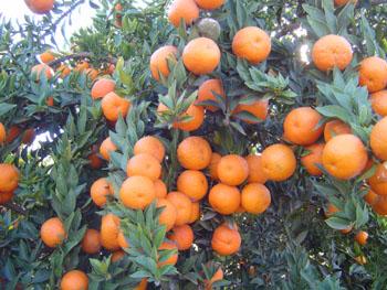 Citrus pictures for Citrus myrtifolia