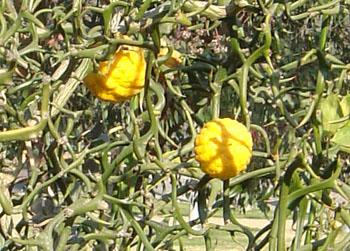 Key Lime Citrus Aurantifolia