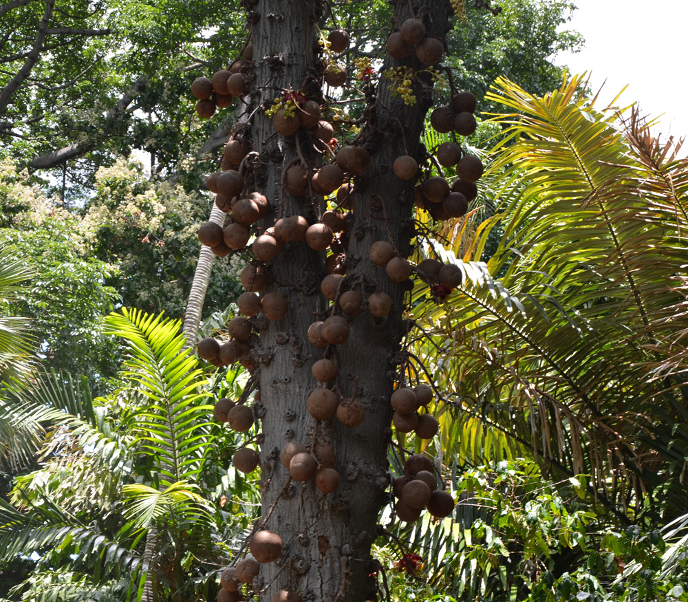 Cannonball Tree - Couroupita Guianensis