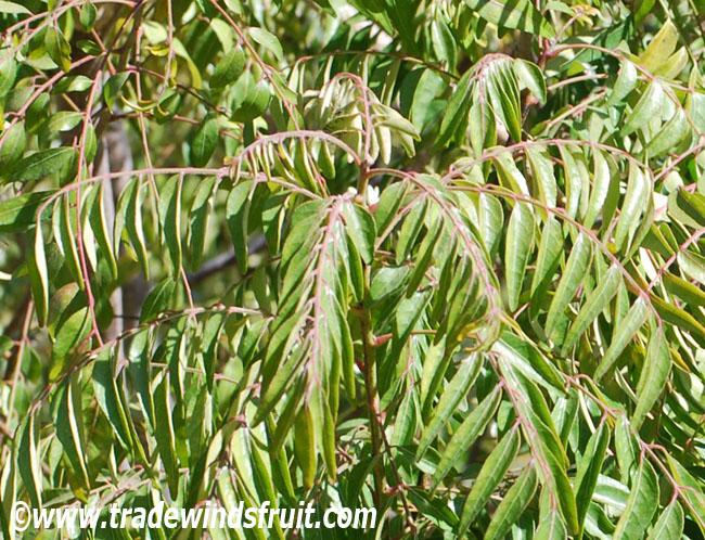 Curry Leaf Murraya Koenigii
