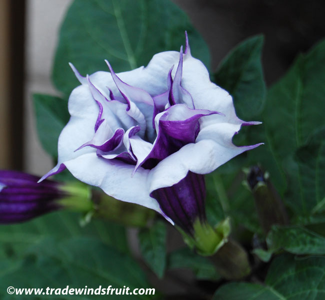 Double Purple Angel Trumpet-Datura// Brugmansia Fragrant/> Loved By Hummingbirds