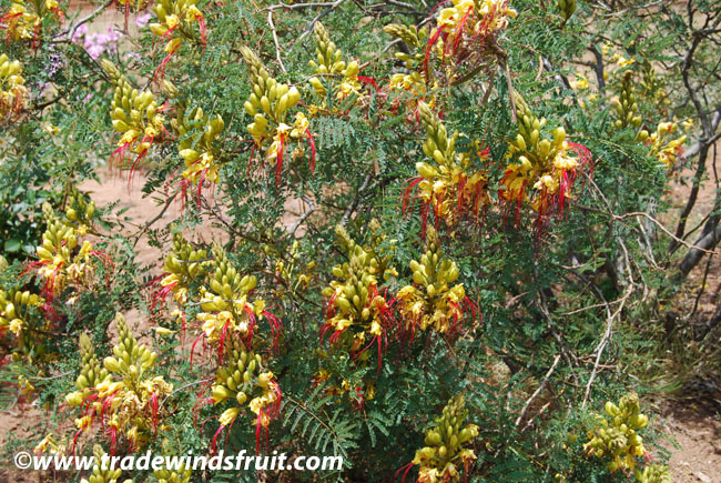 Desert Bird Of Paradise Caesalpinia Gilliesii Seeds