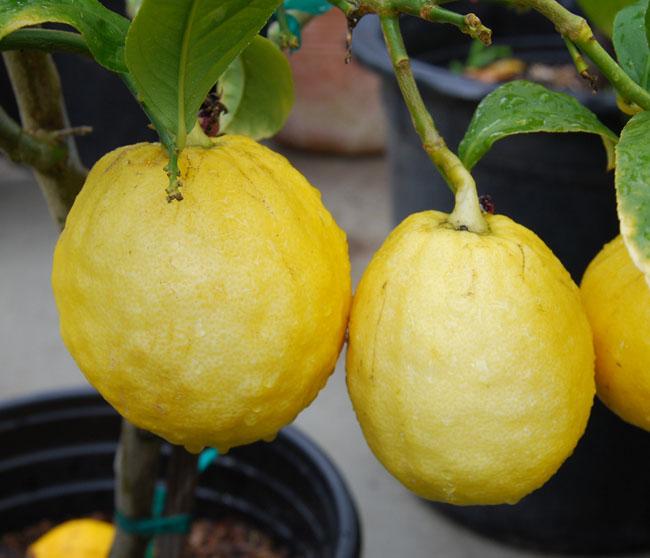etrog citron citrus medica