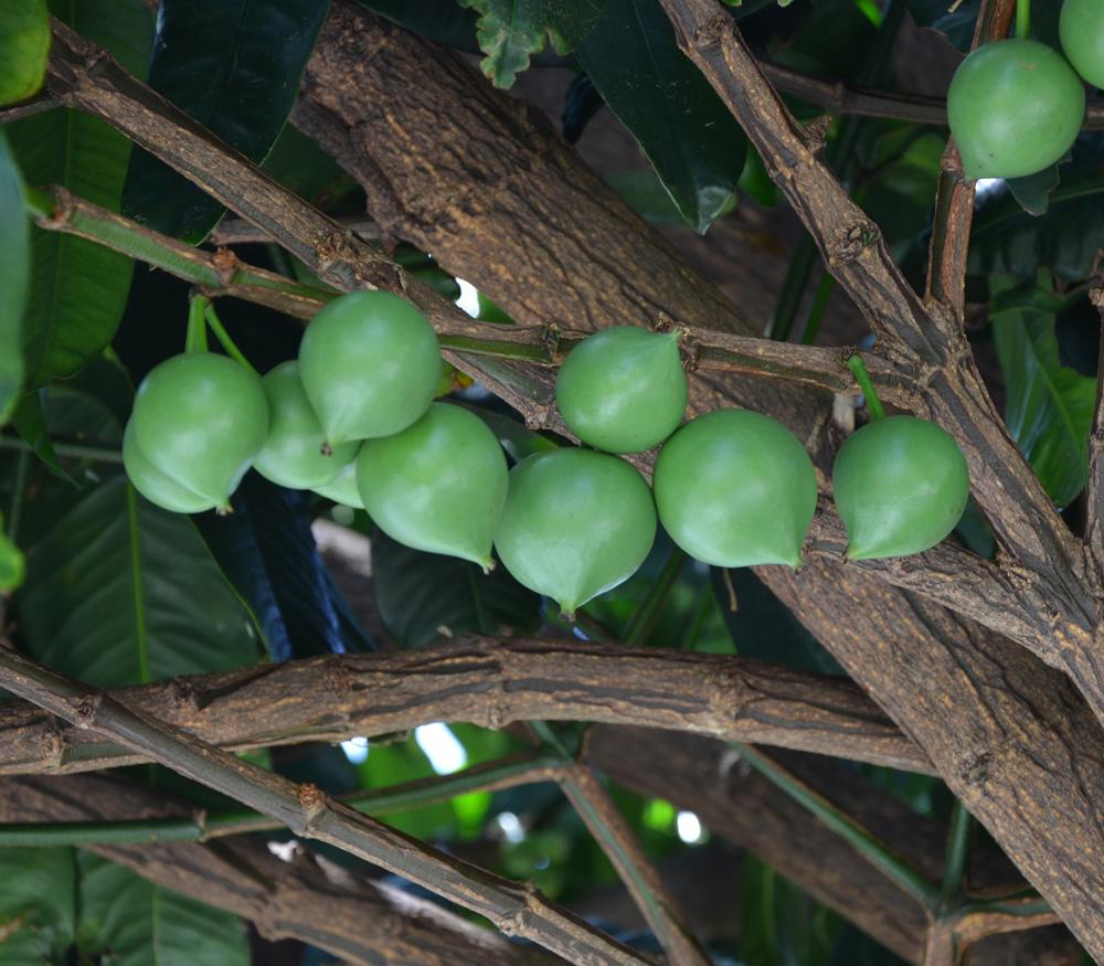 Gamboge - Garcinia Tinctoria  G  Xantochymus