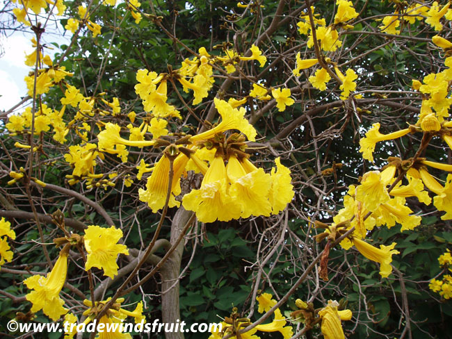 Golden trumpet tree tabebuia chrysotricha seeds banner banner mightylinksfo