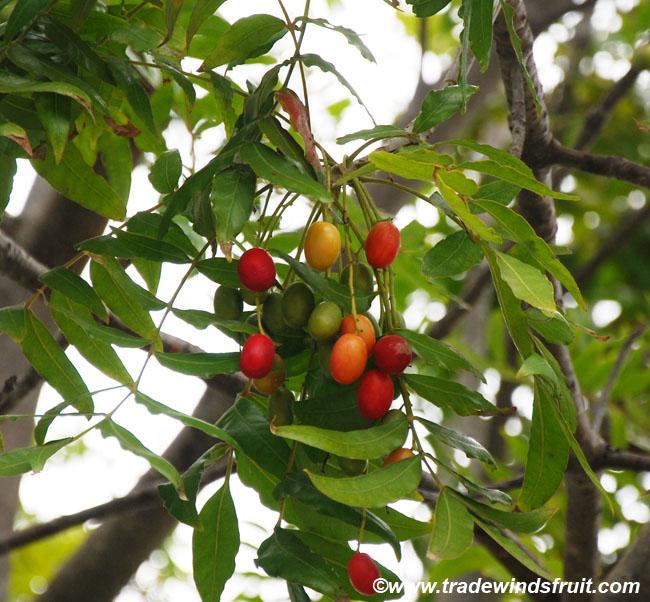 Brazil Plum Imbu Spondias tuberosa
