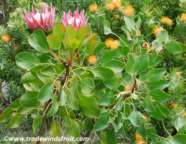 King Protea Protea Cynaroides Seeds