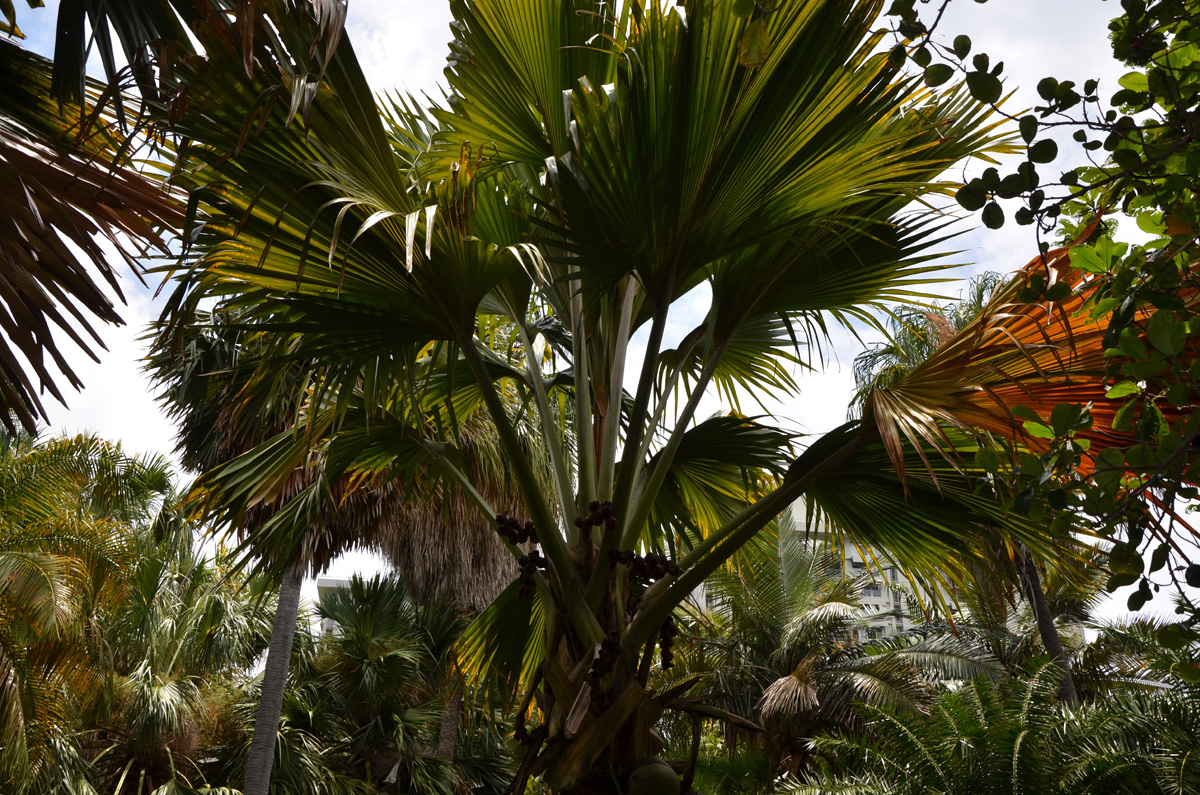Coco De Mer Double Coconut Lodoicea Maldivica