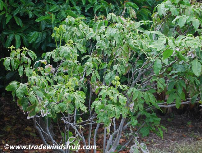 Longan - Dimocarpus longana