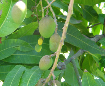 Flowers fruits and plants of hawaii the beautiful mango tree is a common dooryard tree on most of the islands bearing the well known mango fruit trees usually grow to 50 70ft and in season mightylinksfo