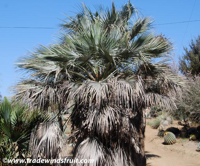 Pics Photos  Palm Trees Http Www Sunpalmtrees Com Palm Trees Pictures