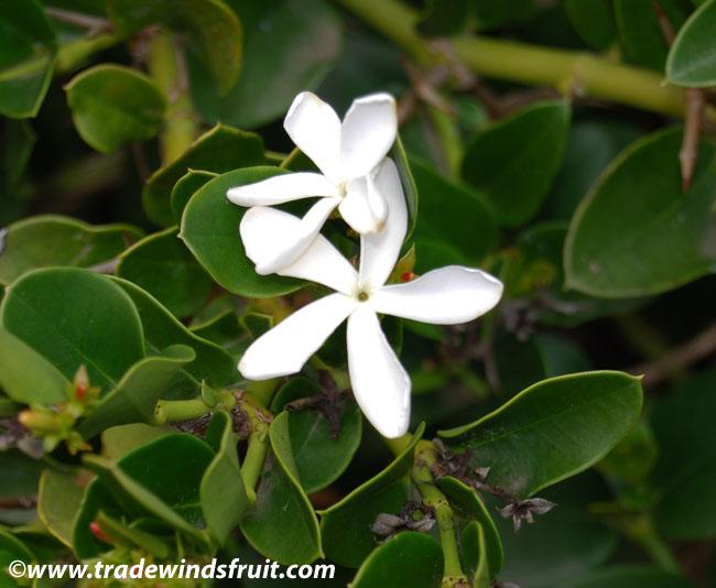 natal plum carissa macrocarpa seeds