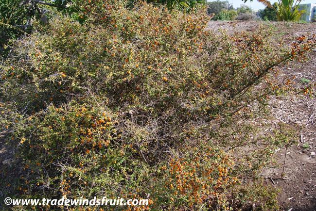 Orange Thorn Citriobatus Pauciflorus
