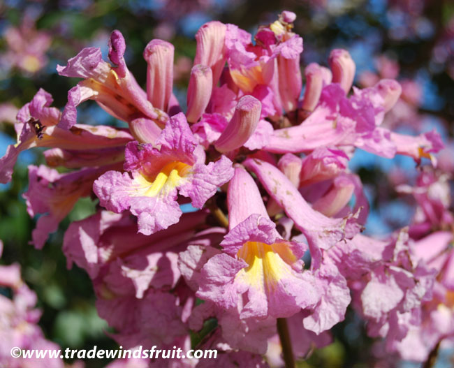 Pink trumpet tree tabebuia impetiginosa seeds pink trumpet tree mightylinksfo