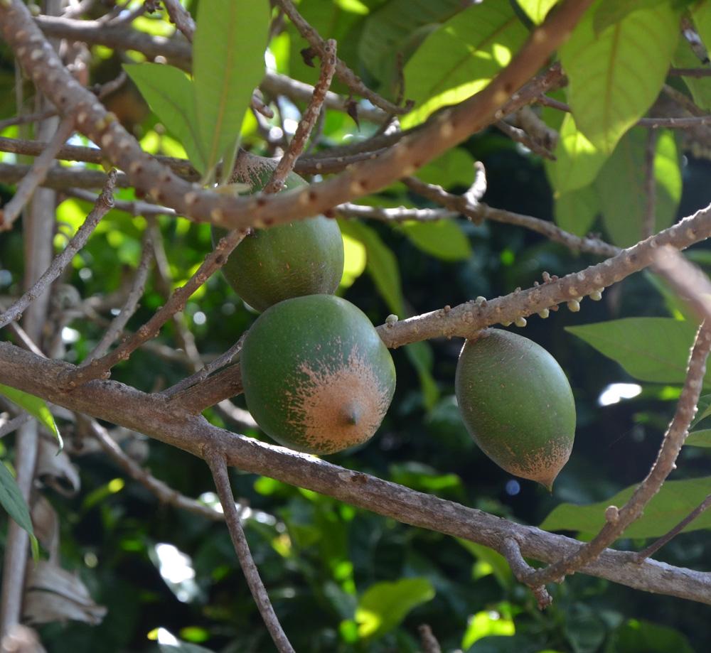 Green Sapote Pouteria Viridis
