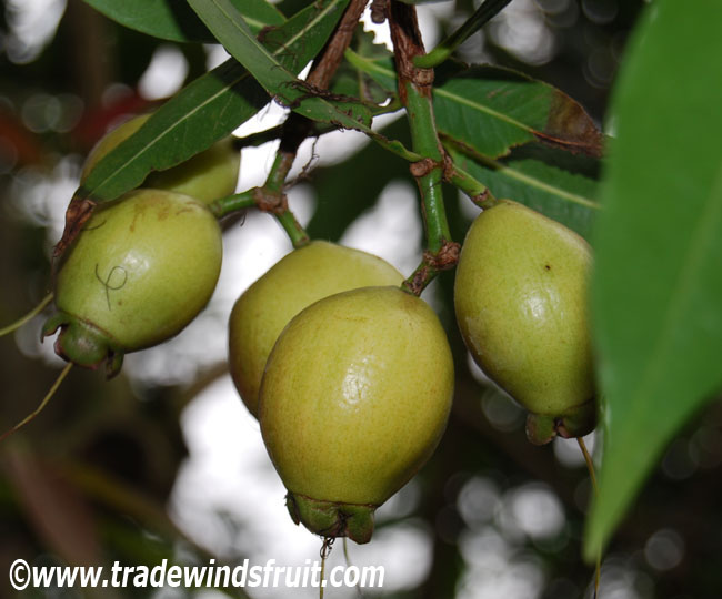 Rose Apple - Syzygium jambos - Seeds