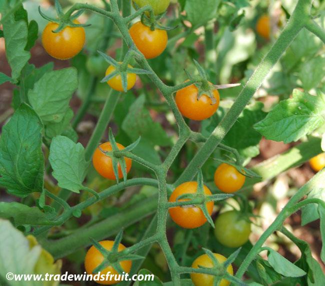 Tomato Seeds 200 Bulk Sungold Tomato Seeds Sun Gold