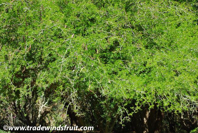 mimosa pudica care